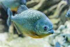 一条热带比拉鱼鱼的特写镜头水下在水族馆enviro 库存照片