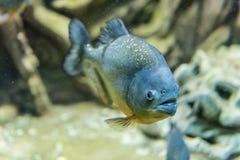一条热带比拉鱼鱼的特写镜头水下在水族馆enviro 图库摄影