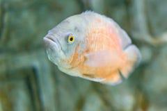 一条热带鱼的特写镜头水下在水族馆 库存照片