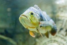 一条热带鱼的特写镜头水下在水族馆 库存图片