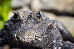 一条热带鳄鱼的宏观射击 免版税库存照片