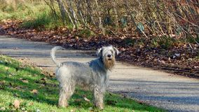 一条狗在公园 库存图片