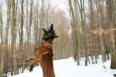 一条狗在冬天 库存图片
