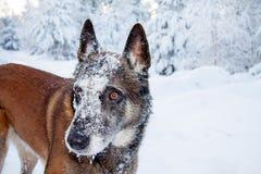 一条狗在冬天 免版税库存图片