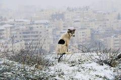 一条狗在多雪的耶路撒冷 免版税库存照片