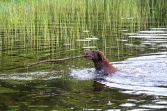 一条狗在带回一根大棍子的水中 库存图片