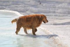 一条狗在棉花堡的温泉 免版税图库摄影