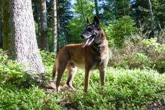 一条狗在森林里 免版税库存图片