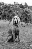 一条狗在葡萄园里在秋天 图库摄影