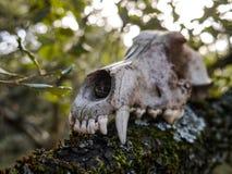 一条狗的头骨在森林里,可怕 库存图片