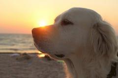 一条狗的播种的射击在日落背景的 免版税库存照片