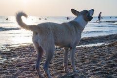一条狗的照片在落日的光芒的在海滨的 免版税图库摄影