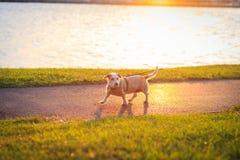 一条狗的画象在日落的 免版税图库摄影