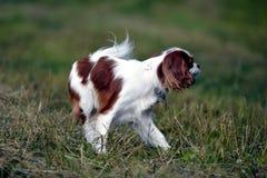 一条狗的画象步行的,骑士国王查尔斯狗 库存图片