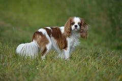 一条狗的画象步行的,骑士国王查尔斯狗 库存照片