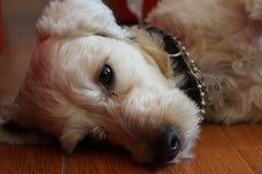 一条狗的面孔与看对照相机的美丽的眼睛的 免版税库存图片