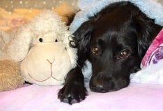 一条狗的画象与哀伤的眼睛的 免版税图库摄影