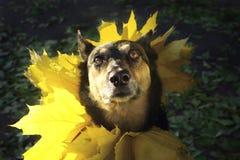 一条狗的画象与黄色的在秋天离开 免版税库存图片
