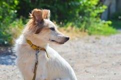 一条狗的portret与轻的头发、锋利的枪口和棕色眼睛的,与皮带衣领,坐农村路 免版税库存图片