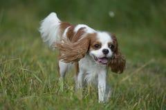 一条狗,骑士国王查尔斯狗的画象在奔跑的 库存图片