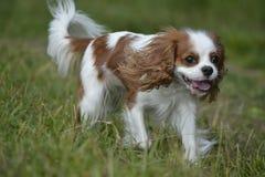 一条狗,骑士国王查尔斯狗的画象在奔跑的 库存照片