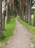 一条狭窄的道路在杉木森林里 免版税库存照片