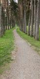 一条狭窄的道路在杉木森林里 免版税库存图片