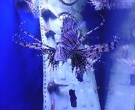 一条狮子鱼在水中 免版税库存照片