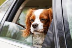 一条白红色头发的狗看在一个开放车窗外面 库存图片