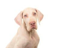 一条白色丹麦种大狗狗的画象 免版税库存图片
