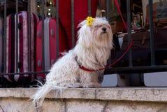 一条白色供玩赏用的小狗的画象 图库摄影
