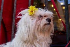 一条白色供玩赏用的小狗的画象 免版税库存图片