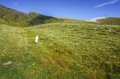 一条白色冒险拉布拉多狗探索与绿色g的山 免版税库存照片
