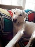一条白色狗坐他喜爱的椅子 免版税库存照片