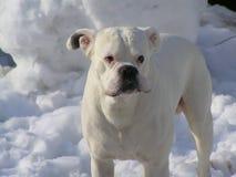一条白色狗的画象 免版税库存图片