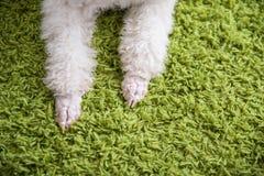 一条白色狗的耳朵 图库摄影