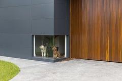 一条白色狗的颜色照片和一个低窗口的一棕色狗等待的infront在一个房子的有木材和铝金属的 免版税库存照片