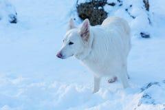 一条白色狗的画象在雪的 免版税库存照片