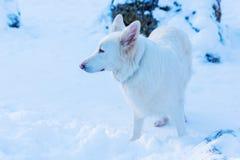 一条白色狗的画象在雪的 免版税库存图片