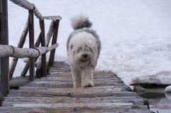 一条白色狗通过一座桥梁走在冬天 免版税库存图片