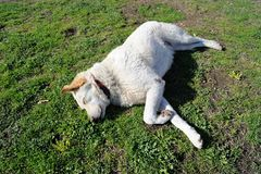 一条白色狗 免版税库存照片