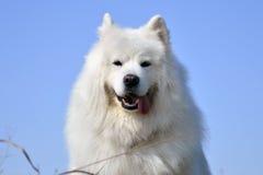 一条白色狗 免版税图库摄影
