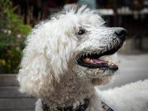 一条白色皇家长卷毛狗的画象与开放嘴的 免版税库存图片