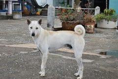 一条白色街道狗的特写镜头在街道上的在华欣,泰国,亚洲 图库摄影