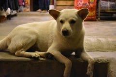 一条白色街道狗的美丽的特写镜头坐石台阶在会安市,越南,亚洲 库存照片
