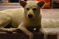 一条白色街道狗的美丽的特写镜头坐石台阶在会安市,越南,亚洲 免版税库存照片