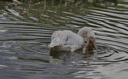 一条白色鹈鹕抓住鱼 库存图片