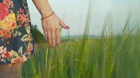 一条短裙的美丽和美丽的女孩审阅黑麦领域并且握她的手 影视素材