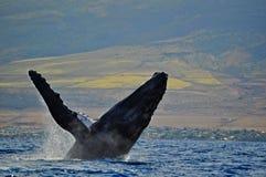 一条破坏的驼背鲸在离毛伊的附近海岸, 免版税库存照片