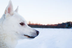 一条空白狗的纵向在冬天木头的 图库摄影